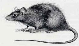 """L'image """"http://rat.eliminator.free.fr/images/Images%20Animaux/RatNoir.JPG"""" ne peut être affichée car elle contient des erreurs."""